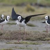 Pied stilt. Adult showing distraction display. Christchurch, October 2012. Image © Steve Attwood by Steve Attwood http://stevex2.wordpress.com/