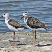 Pied stilt. Juveniles. Westshore Wildlife Reserve, Napier, March 2015. Image © Dick Porter by Dick Porter