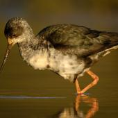 Black stilt. Immature wading. Lake Pukaki, October 2009. Image © Craig McKenzie by Craig McKenzie