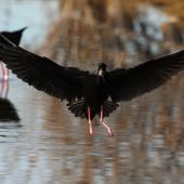 Black stilt. Adult landing showing underwings. Ohau River delta, May 2012. Image © Glenda Rees by Glenda Rees http://www.flickr.com/photos/nzsamphotofanatic/