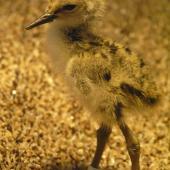 Black stilt. Chick 2 days. DOC captive rearing facility, Twizel, December 2005. Image © Josie Galbraith by Josie Galbraith