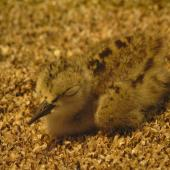 Black stilt. Chick 1 day, at rest. DOC captive rearing facility, Twizel, December 2005. Image © Josie Galbraith by Josie Galbraith
