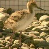 Black stilt. Chick 15 days. DOC captive rearing facility, Twizel, December 2005. Image © Josie Galbraith by Josie Galbraith