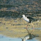 Black stilt. Juvenile showing black feathering around eye. McKenzie basin. Image © Department of Conservation (image ref: 10024080) by Dave Murray, Department of Conservation Courtesy of Department of Conservation