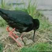 Black stilt. Adult at nest with four eggs. Near Twizel. Image © Department of Conservation (image ref: 10034055) by Dave Murray, Department of Conservation Courtesy of Department of Conservation