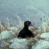 Black stilt. Adult on nest. Cass River, McKenzie basin, October 1977. Image © Department of Conservation (image ref: 10036471) by Dick Veitch, Department of Conservation Courtesy of Department of Conservation