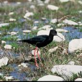 Black stilt. Adult near nest. Near Twizel. Image © Department of Conservation (image ref: 10033967) by Dick Veitch, Department of Conservation Courtesy of Department of Conservation