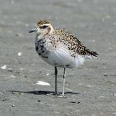Pacific golden plover. Adult starting to acquire breeding plumage. Foxton Beach, March 2010. Image © Duncan Watson by Duncan Watson