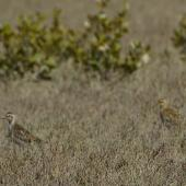 Pacific golden plover. Adults in moult. Mataitai shellbanks,  Clevedon-Kawakawa Bay Road. Image © Noel Knight by Noel Knight