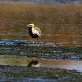 Pacific golden plover. Front view of over-wintering bird showing some breeding plumage. Awarua Bay, July 2013. Image © Glenda Rees by Glenda Rees http://www.flickr.com/photos/nzsamphotofanatic/