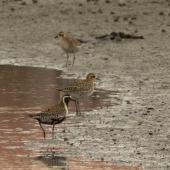 Pacific golden plover. Three birds showing both breeding and non-breeding plumage. Ahuriri estuary, Napier, March 2016. Image © Cheryl Walton by Cheryl Walton