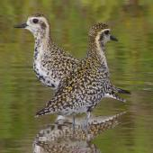 Pacific golden plover. Adults moulting into breeding plumage. South-east Queensland, March 2014. Image © Dorothy Pashniak by Dorothy Pashniak
