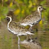 Pacific golden plover. Adults in breeding plumage. South-east Queensland, April 2014. Image © Dorothy Pashniak by Dorothy Pashniak