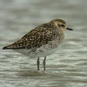 Pacific golden plover. Non-breeding plumage. Little Waihi estuary, December 2011. Image © Tim Barnard by Tim Barnard