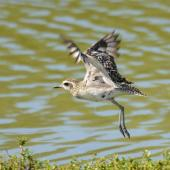 Pacific golden plover. Nonbreeding adult taking flight. Hawai`i - Island of Kaua`i, September 2012. Image © Jim Denny by Jim Denny Jim Denny / kauaibirds.com