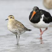Pacific golden plover. Adult starting to moult into breeding plumage (South Island pied oystercatcher in background). Manawatu River estuary, March 2012. Image © Phil Battley by Phil Battley