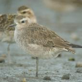 American golden plover. Non-breeding plumage. Little Waihi estuary, February 2011. Image © Tim Barnard by Tim Barnard