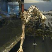 Upland moa. Mounted skeleton in Otago Museum OM AV10049. Serpentine Range, Humboldt Mountains, Mount Aspiring National Park. Image © Alan Tennyson & Otago Museum by Alan Tennyson