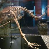 Upland moa. Mounted skeleton in Otago Museum. Serpentine Range, Humboldt Mountains, Mount Aspiring National Park. Image © Alan Tennyson & Otago Museum by Alan Tennyson