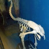 Upland moa. Mounted skeleton in Tring Museum, England. . Image © Alan Tennyson & the Natural History Museum by Alan Tennyson