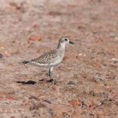 Grey plover. Non-breeding adult. Egypt, Sinay, Dahab, December 2009. Image © Sergey Yeliseev by Sergey Yeliseev
