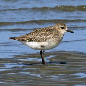 Grey plover. Adult in non-breeding plumage. Whanganui River, October 2019. Image © Duncan Watson by Duncan Watson