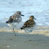 Grey plover. Adult in nonbreeding plumage (left) with Pacific golden plover. Manawatu River estuary, April 2008. Image © Alex Scott by Alex Scott