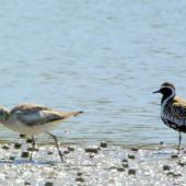 Grey plover. Non-breeding adult (left) with Pacific golden plover in breeding plumage. Manawatu River estuary, March 2008. Image © Alex Scott by Alex Scott