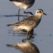 Grey plover. Two birds in non-breeding plumage. Quivira National Wildlife Refuge, Kansas, USA, October 2015. Image © David A. Rintoul by David A. Rintoul