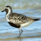 Grey plover. Adult in partial breeding plumage. Inskip Point, South-east Queensland, September 2010. Image © Dorothy Pashniak by Dorothy Pashniak