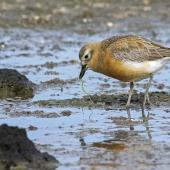 New Zealand dotterel. Male, northern subspecies, in breeding plumage feeding on weed (which it was seen to swallow). Ambury Regional Park, August 2014. Image © Bruce Buckman by Bruce Buckman https://www.flickr.com/photos/brunonz/
