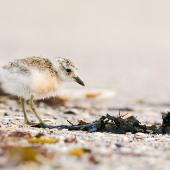 New Zealand dotterel. Young chick. Front Beach, Whitianga, Coromandel Peninsula, January 2009. Image © Neil Fitzgerald by Neil Fitzgerald www.neilfitzgeraldphoto.co.nz
