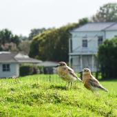 New Zealand dotterel. Adults on farm land. Ambury Regional Park, Mangere Bridge, Auckland, August 2014. Image © Jacqui Geux by Jacqui Geux www.facebook.com/WaitakereRangesWEST