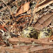 New Zealand dotterel. Nest with 2 eggs. Scandrett Regional Park, near Warkworth, November 2018. Image © Prue Bell by Prue Bell