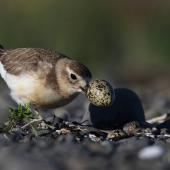 New Zealand dotterel. Adult female removing egg-shell from nest. Clive Beach, Hawke's Bay, October 2016. Image © Adam Clarke by Adam Clarke
