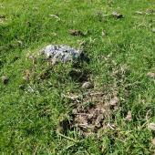 New Zealand dotterel. Nest with one egg in pasture. Ambury Regional Park, Auckland, September 2014. Image © Jacqui Geux by Jacqui Geux