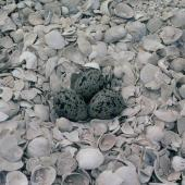 New Zealand dotterel. Nest with 3 eggs. Karaka shellbank, Manukau Harbour, December 1984. Image © Alan Tennyson by Alan Tennyson