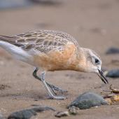 New Zealand dotterel. Northern subspecies adult in breeding plumage catching crab. Te Puru, October 2009. Image © Tony Whitehead by Tony Whitehead www.wildlight.co.nz