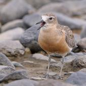 New Zealand dotterel. Front view of northern subspecies adult in breeding plumage. Te Puru, October 2009. Image © Tony Whitehead by Tony Whitehead www.wildlight.co.nz