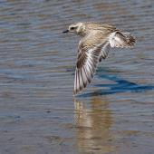 New Zealand dotterel. Juvenile in flight. Waikanae River estuary, January 2019. Image © Roger Smith by Roger Smith