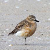 New Zealand dotterel. Northern subspecies male resting on one leg. Waipu estuary Northland, June 2012. Image © Thomas Musson by Thomas Musson tomandelaine@xtra.co.nz