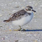 New Zealand dotterel. Northern subspecies juvenile. Waipu estuary, Northland, June 2012. Image © Thomas Musson by Thomas Musson tomandelaine@xtra.co.nz