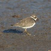 Semipalmated plover. Adult, non-breeding. Manhattan,  Kansas,  USA, September 2014. Image © David Rintoul by David Rintoul