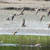 Semipalmated plover. In flight with least sandpipers. Costa Rica, August 2012. Image © Ray Buckmaster by Ray Buckmaster