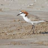 Red-capped plover. Adult male. Darwin area, July 2012. Image © Dick Porter by Dick Porter