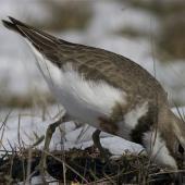 Banded dotterel. Adult breeding plumage female feeding in snow. Lake Lyndon, October 2012. Image © Steve Attwood by Steve Attwood http://stevex2.wordpress.com/