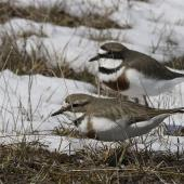 Banded dotterel. Adult pair feeding in snow with female in front. Lake Lyndon, October 2012. Image © Steve Attwood by Steve Attwood http://stevex2.wordpress.com/