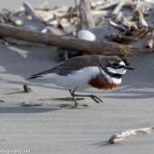 Banded dotterel. Adult breeding male in territorial dispute with another male. Waikanae River estuary, November 2017. Image © Imogen Warren by Imogen Warren