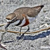 Banded dotterel. Adult male in breeding plumage foraging. , October 2011. Image © Dick Porter by Dick Porter