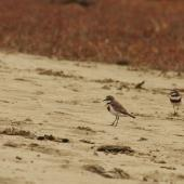 Banded dotterel. Flock on the beach. Whitford, Auckland. Image © Art Polkanov by Art Polkanov
